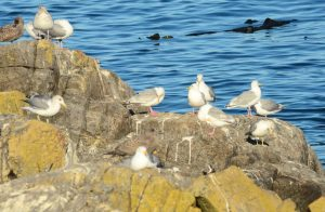 Mix of Glaucous-winged Gulls and California Gulls.