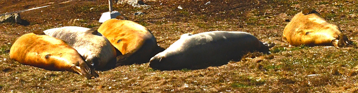 Northern Elephant Seals snooze on the lawn.