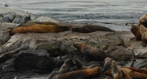 Northern Elephant Seals with Steller Sea lions below and beside. (Seven of eight animals on Middle Rock visible here.)