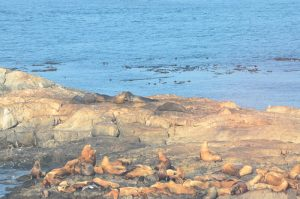 7 Elephant seals on Middle Rock above Sea Lions