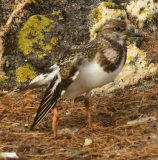 Ruddy Turnstone stretches its wing on its way from the arctic southward.
