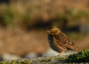 Savannah Sparrows ubiquitous right now.
