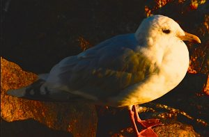 Thayer's Gull rests at sunset after migrating from Canada's high arctic.
