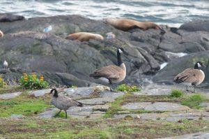 cackling-goose-1-20-10