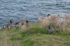 cackling-goose-2-20-10