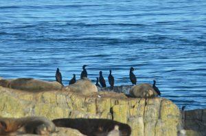 cormorants-28-10