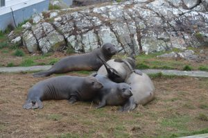 Elephant seal fun!