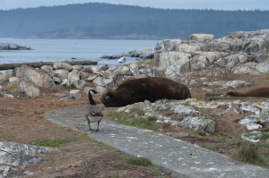 goose-and-sea-lion-3-10