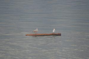gull-tour-2-24-10