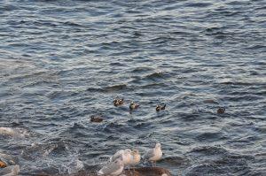 harlequin-ducks-1-28-10