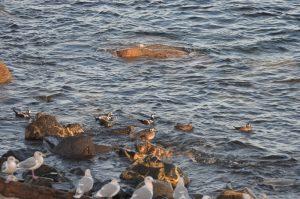 harlequin-ducks-2-28-10