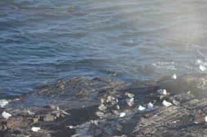 heermanns-gulls-1-20-10