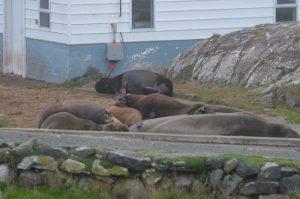 sea-lions-on-e-seals-16-10