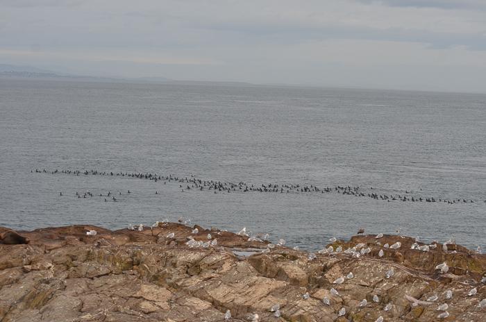 2nd cormorant armada