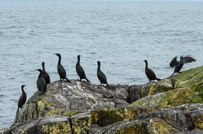 dec-26-cormorants-2