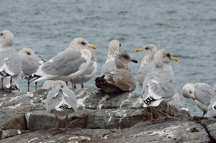 dec-26-gulls-2