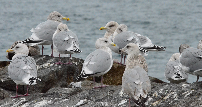 dec-26-gulls-3
