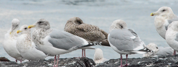 dec-26-gulls-4