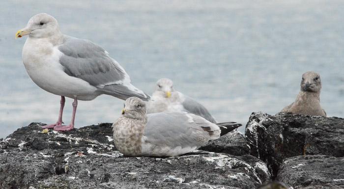 dec-26-gulls-5