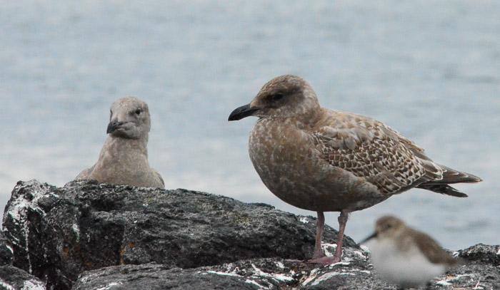 dec-26-gulls-6