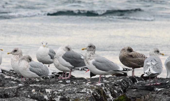 dec-26-gulls-8