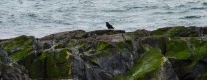 dec-26-raven