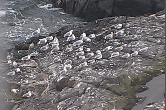South-west corner gulls